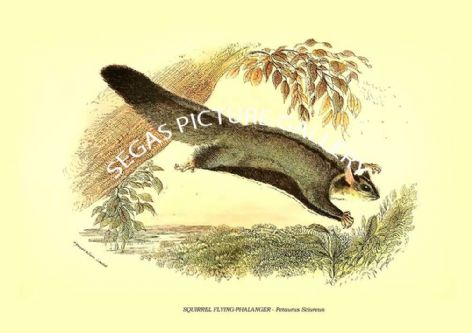 Fine art print of the SQUIRREL FLYING-PHALANGER - Petaurus Sciureus by Richard Lydekker 1896